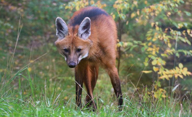 O lobo-guará é um animal que apresenta hábitos solitários.