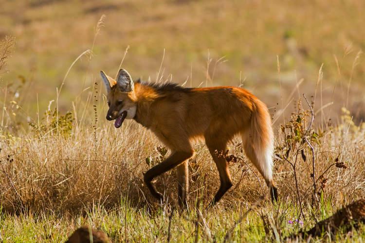 O lobo-guará apresentas pernas longas e um andar lento e desajeitado.