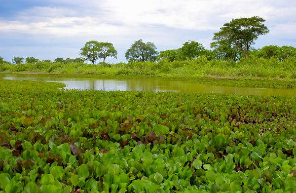 Exemplo de vegetação aquática e mata ciliar encontradas no Pantanal mato-grossense.