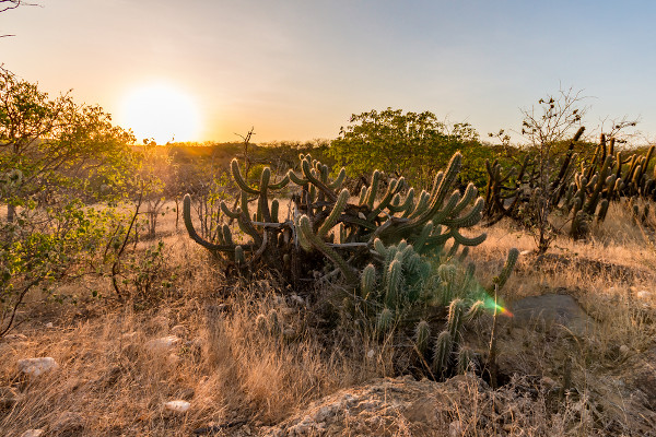 A Caatinga apresenta uma vegetação resistente à seca, como os cactus, que são plantas que armazenam água no seu caule.
