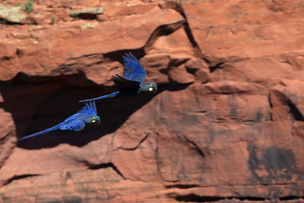 Na Caatinga, existem muitas aves endêmicas que se encontram em processo de extinção, como a arara-azul-de-lear.