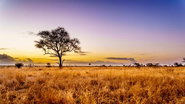 As savanas são um tipo de cobertura vegetal muito como na África. Elas abrigam uma grande diversidade de animais.