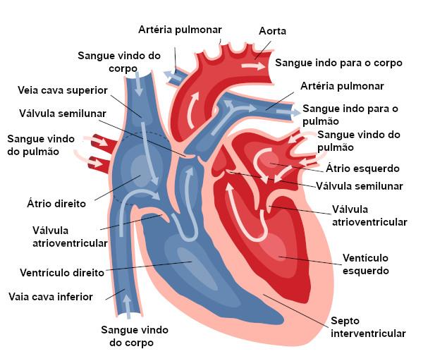 Observe as partes do coração e o caminho que o sangue percorre no órgão.