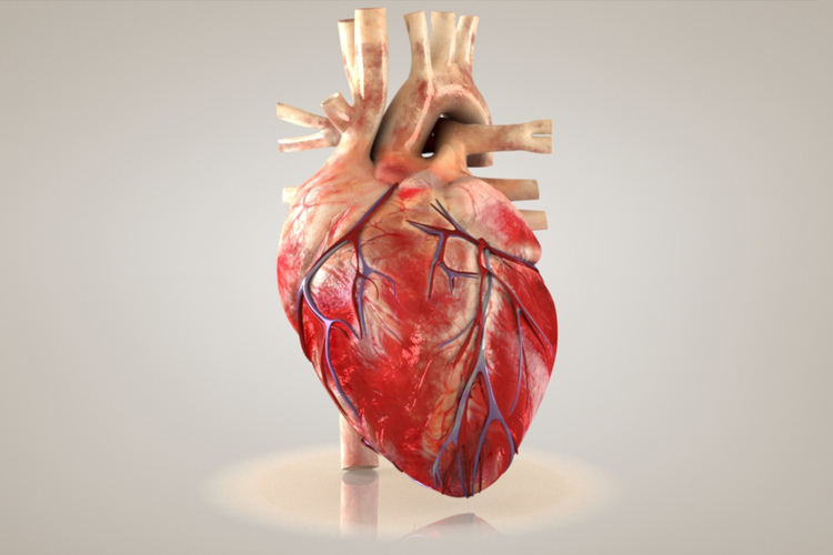 O coração é formado basicamente por tecido muscular estriado cardíaco.