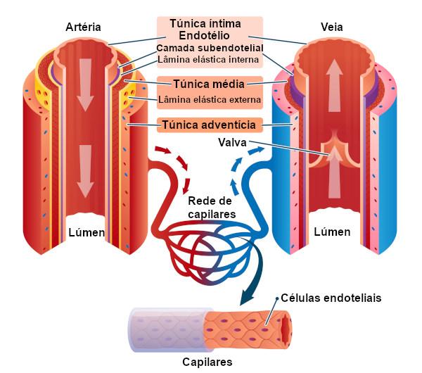 Observe a estrutura das veias em comparação à dos outros vasos sanguíneos.