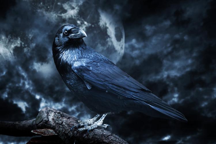 """O corvo é uma ave, no Ocidente, associada ao mal agouro. No poema """"O corvo"""", Poe explora essa dimensão sombria."""