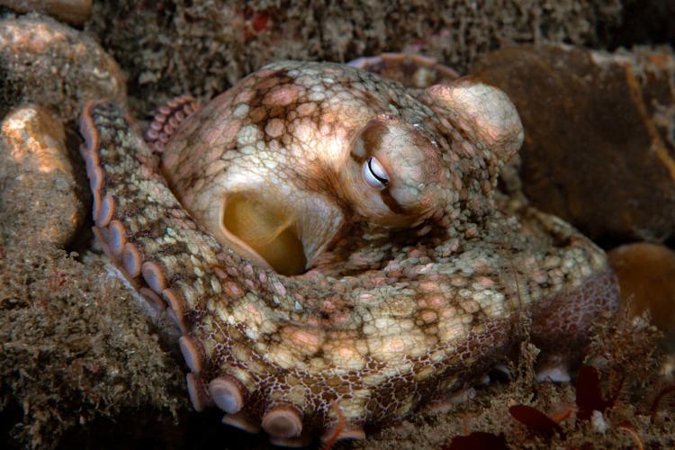 Os polvos são exemplos de moluscos.