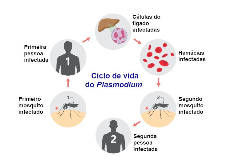 Observe o ciclo biológico do Plasmodium.