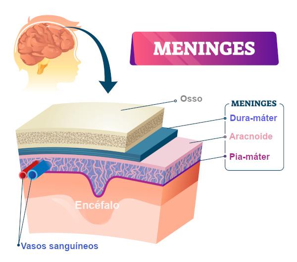 As meninges são membranas que envolvem o sistema nervoso central.