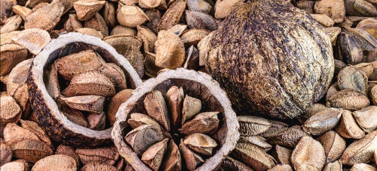 Castanha-do-pará, fruto comum no Pará.
