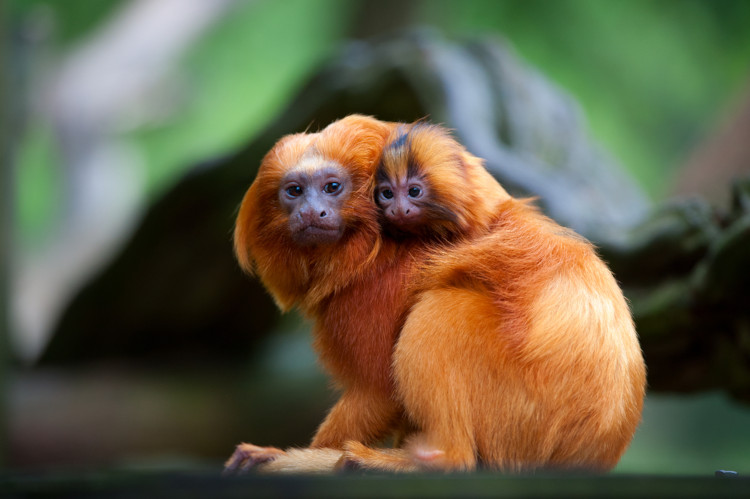 O mico-leão-dourado é uma espécie da Mata Atlântica que se encontra ameaçada.