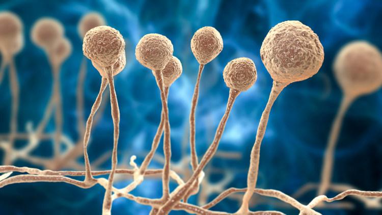 A mucormicose é uma doença causada por fungos da ordem Mucorales.