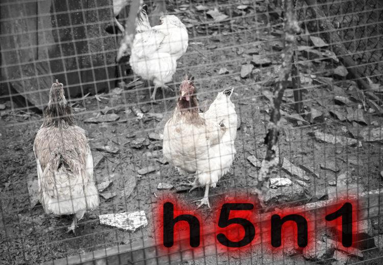 H5N1 é um dos vírus causadores da gripe aviária.