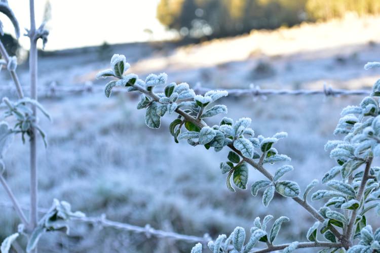 Foto de plantas cobertas por geada.