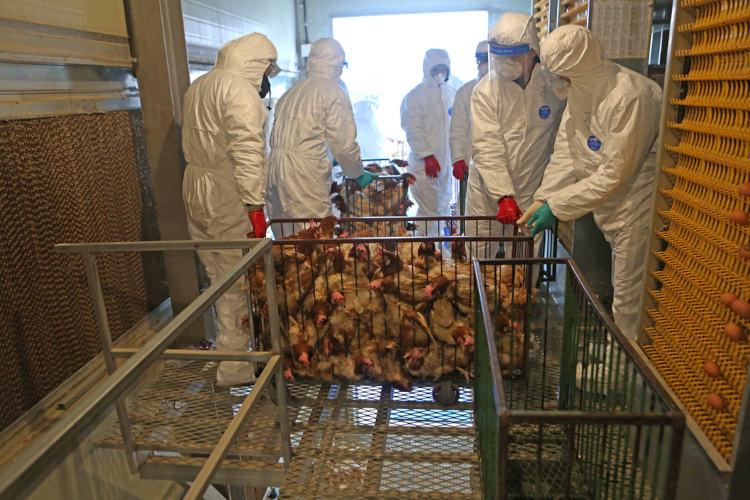 O sacrifício de aves é importante para conter surtos da doença.[1]