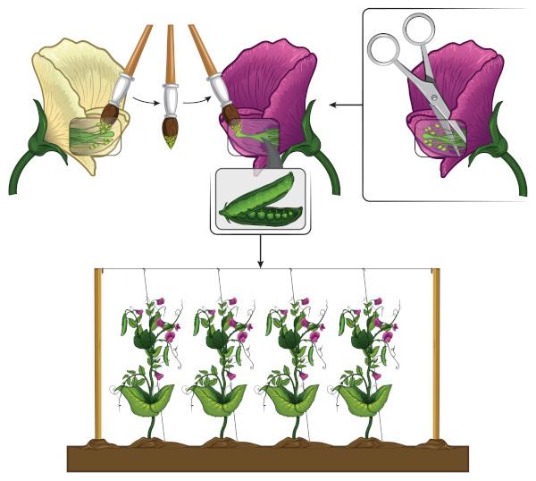 Ilustração que esquematiza experimento com ervilhas de Gregor Mendel.