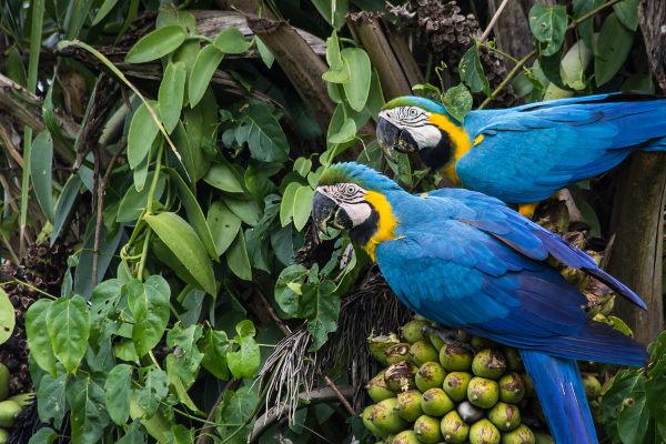 A dispersão de frutos e sementes por animais é chamada de zoocoria.
