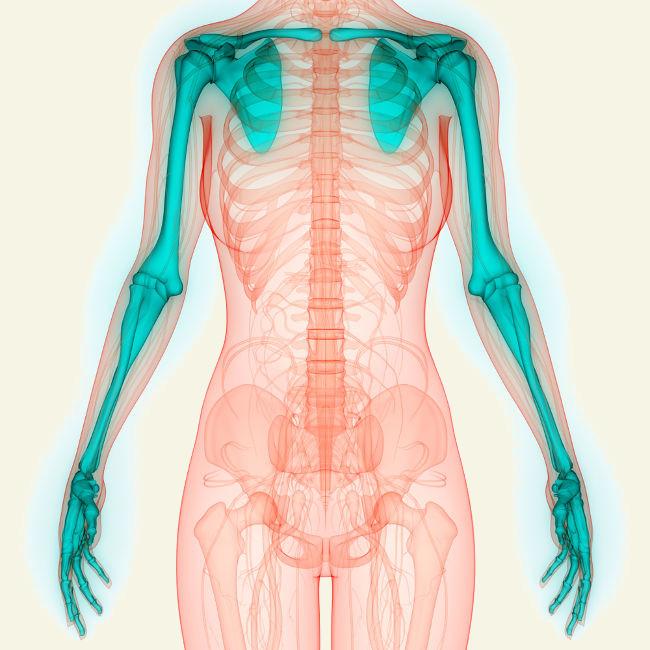 Os membros superiores são formados pela cintura escapular, pelo braço, antebraço e pela mão.