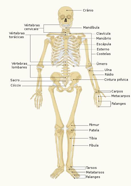 Observe alguns dos ossos encontrados no nosso esqueleto.
