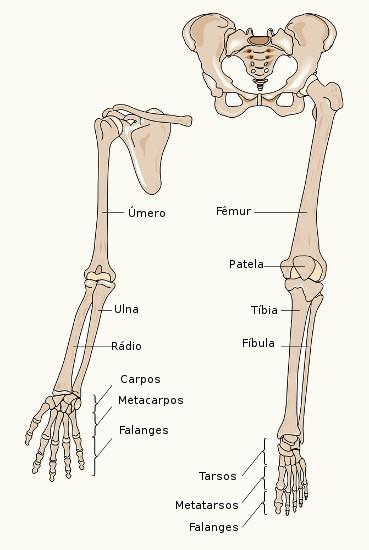 Os membros superiores, inferiores e as cinturas escapular e pélvica formam o esqueleto apendicular.