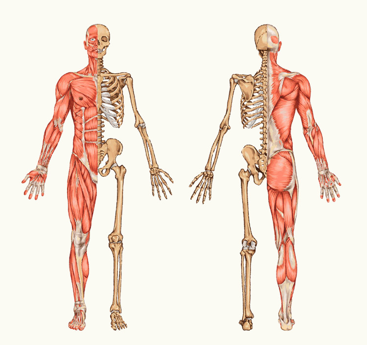 Os ossos servem de ponto de fixação para os músculos.