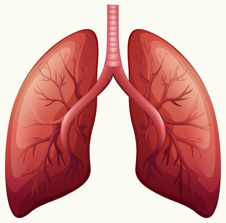 Os pulmões são responsáveis por garantir a realização das trocas gasosas.
