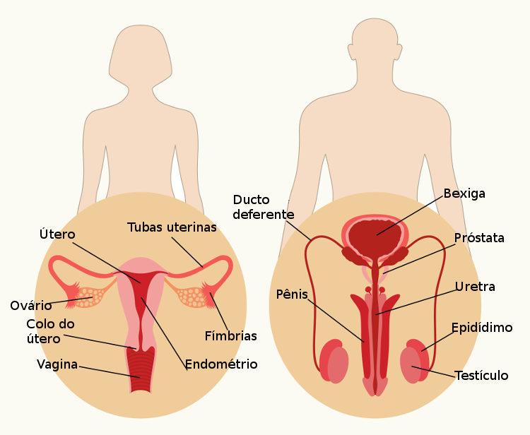 Os sistemas reprodutores masculino e feminino apresentam diferenças marcantes, como local de produção dos gametas.