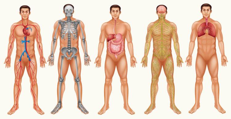 Vários sistemas trabalham juntos para garantir o funcionamento do organismo.