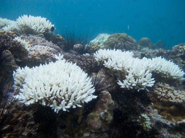 Coral branqueado