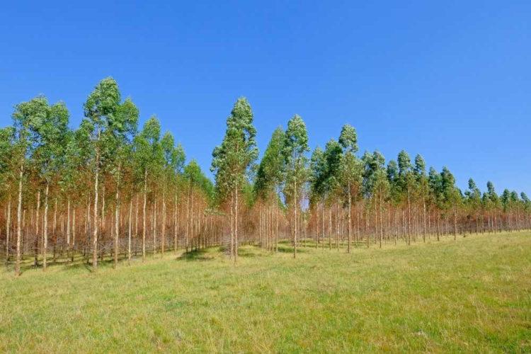 Expansão da produção de eucalipto