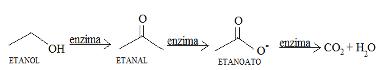 Metabolismo do álcool quando é ingerido em pequenas quantidades