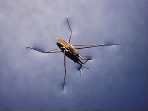 Os insetos se transportam pela água graças à sua tensão superficial