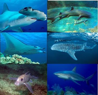 Os condrictes reúnem peixes marinhos com esqueleto cartilaginoso