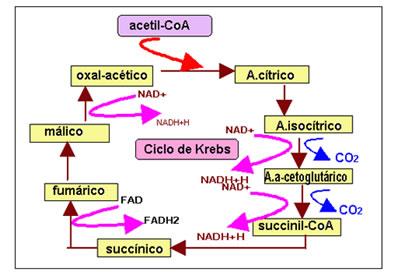 O ciclo de Krebs é a segunda etapa da respiração celular