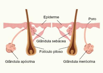 Glândula sudorípara