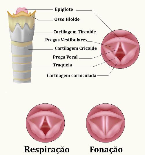 Resultado de imagem para cordas vocais