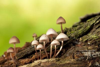 Os cogumelos do gênero Psilocybe apresentam substâncias alucinógenas