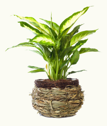 A comigo-ninguém-pode é uma planta tóxica bastante cultivada