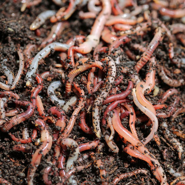 A criação de minhoca para a produção de húmus pode aumentar a renda de pequenos produtores