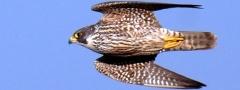 Falcão-peregrino (<i>Falco peregrinus</i>): animal voador mais veloz do mundo.