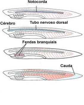 Os cordados têm como representantes mais conhecidos os peixes, anfíbios, répteis, aves e mamíferos