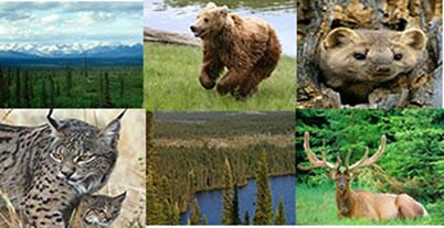 A taiga é constituída por árvores gimnospermas e animais como o urso-pardo, martas, linces e alces.