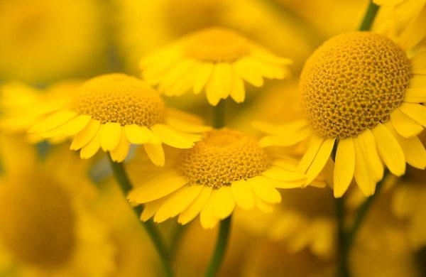 A maior família de eudicotiledônea é a família Asteraceae, que apresenta as margaridas como representantes.