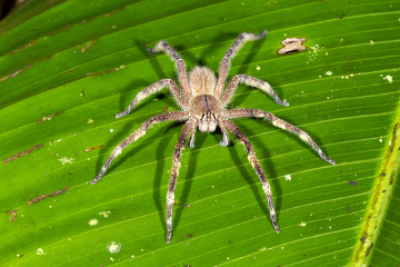 As aranhas do gênero Phoneutria são responsáveis por um grande número de acidentes no Brasil