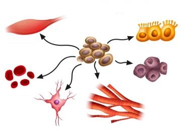 As células-tronco conseguem diferenciar-se em vários tipos celulares