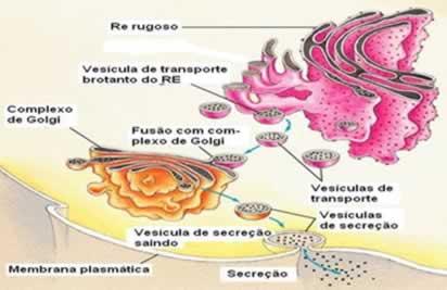 As proteínas são produzidas no retículo endoplasmático rugoso e enviadas até o complexo de golgi