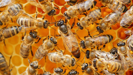 As abelhas são um exemplo clássico de organismos que se reproduzem por partenogênese