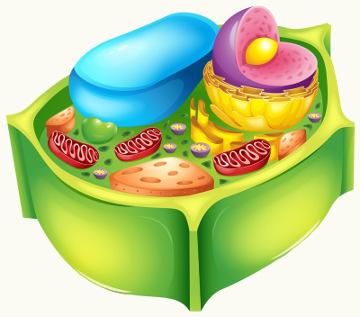 Externamente à membrana plasmática, está a parede celular na célula vegetal