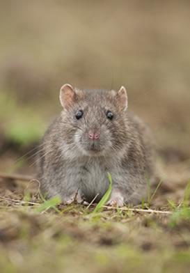 Em razão da proximidade com os seres humanos, o rato é o principal responsável pela infecção humana