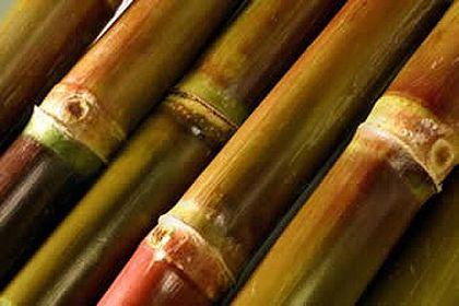Cana-de-açúcar: o ouro brasileiro.